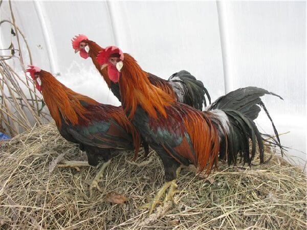 Тотенко порода кур – описание голосистых с фото и видео.