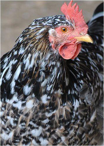 Венда порода кур – характеристики и описание африканки.