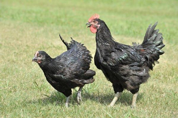 Курокашива порода кур – описание с фото и видео.