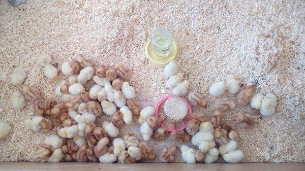 Чем кормить цыплят с первых дней жизни в домашних условиях.