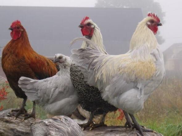 Гедемора порода кур – описание с фото и видео.