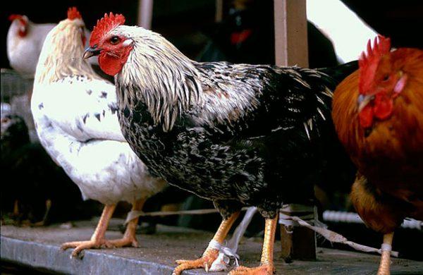 Юрловская голосистая - лучшие куры для дома – породы несушки и на мясо.
