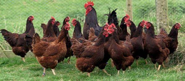 Род Айленд - лучшие куры для дома – породы несушки и на мясо.