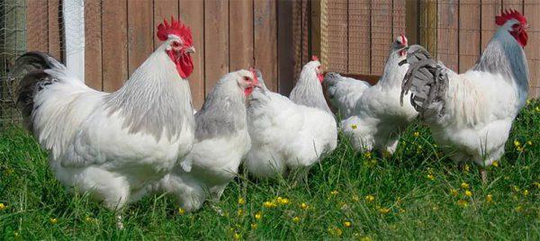 Суссекс - лучшие куры для дома – породы несушки и на мясо.