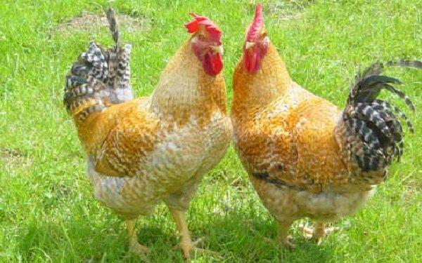 Редбро - лучшие куры для дома – породы несушки и на мясо.