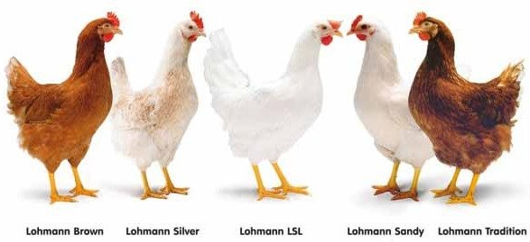 Несушки Ломан Браун – характеристики и содержание.