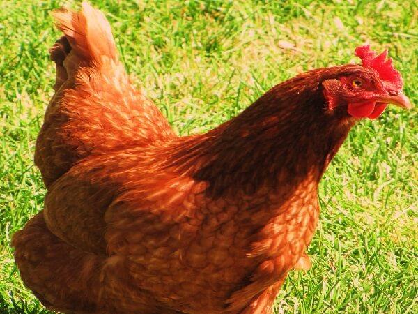 Пенджаб Браун порода кур – описание с фото и видео, содержание и уход.