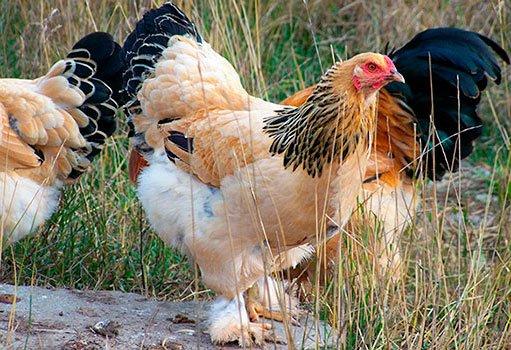 Лучшие мясные породы кур для домашнего разведения: брама.