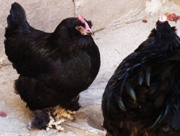 Маранди порода кур – описание с фото из Азербайджана.