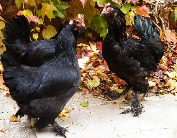 Маранди порода кур – описание с фото и видео.