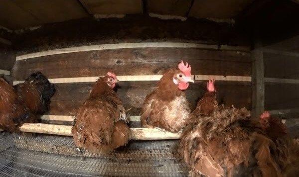 Разведение кур в домашних условиях.