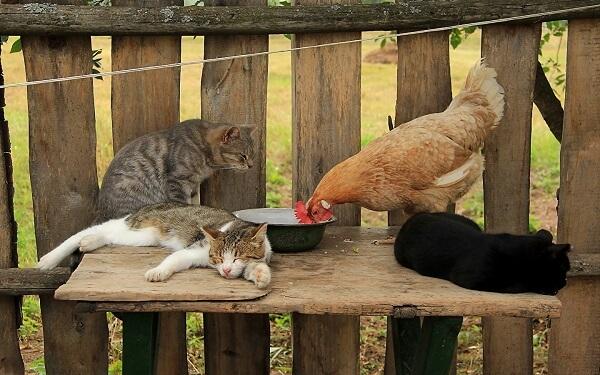 Как избавиться от куриных блох в домашних условиях народными средствами.