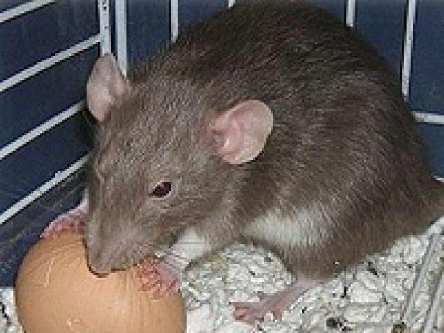 Как избавиться от крыс в курятнике, доме или квартире.