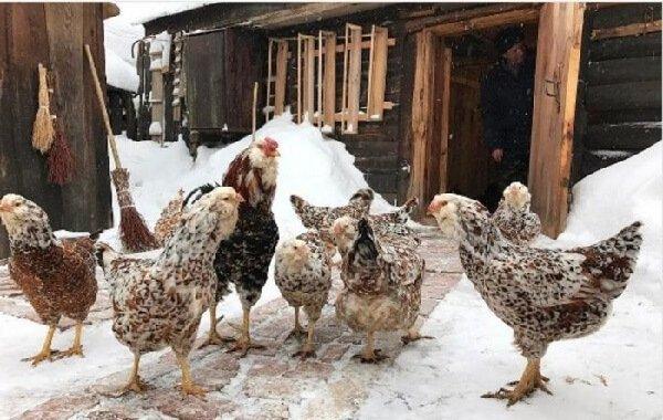Аспекты повышения яичной продуктивности осенью и зимой.