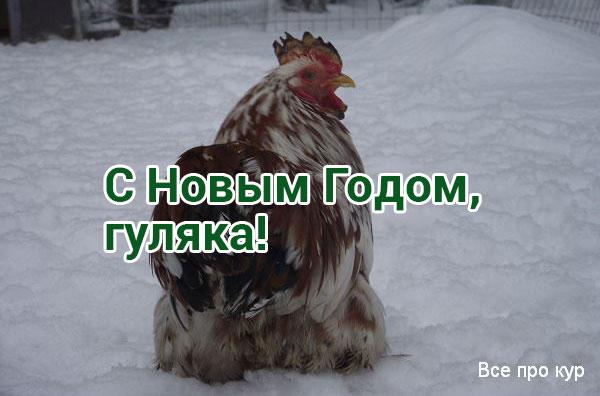 Обморожение у кур - лечение гребешков и профилактика.