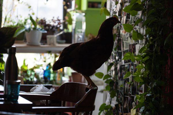 Курица живет в квартире - фото и карьера несушки фотомодели.