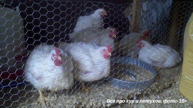 Как ощипать и разделать курицу дома быстро и просто - фото и видео.