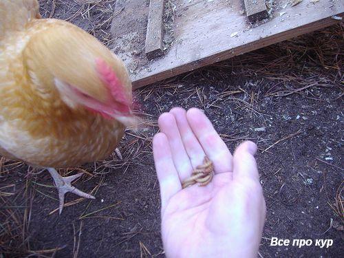 Чем кормить кур можно и что нельзя давать.
