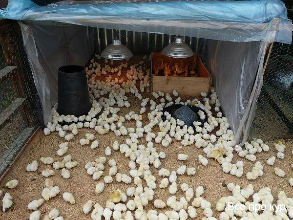 Что приготовить суточным цыплятам для выращивания