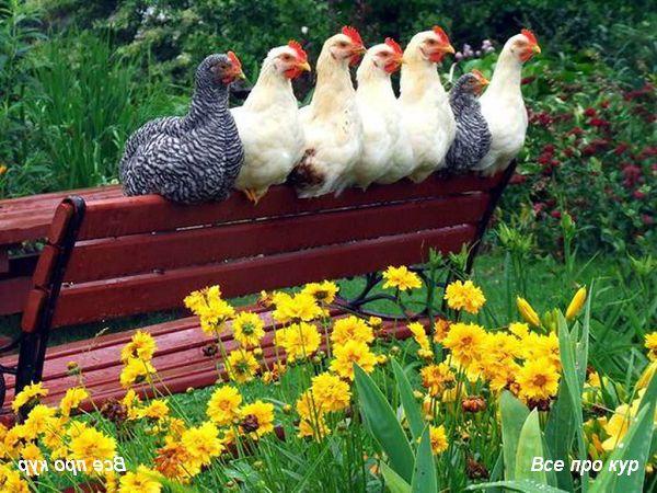 3 способа совместить кур и огород.