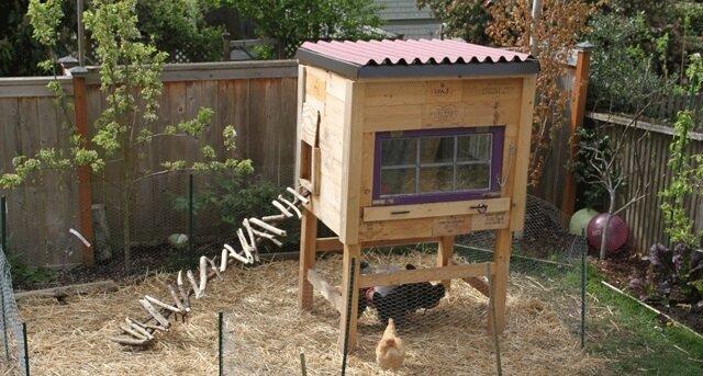 Выращивание цыплят для чайников - 10 трудностей.
