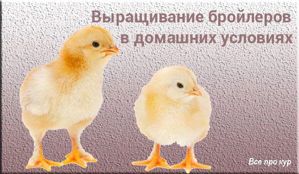 Как вырастить бройлерных цыплят в домашних условиях?