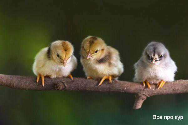 Зелень для цыплят