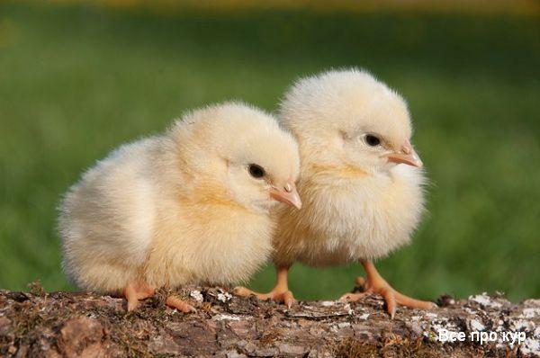 Какую траву можно давать цыплятам бройлерам и несушкам?