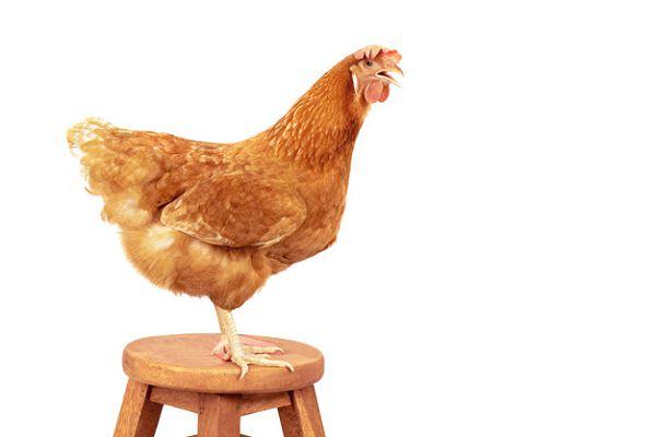 Куриное мясо польза и вред курятины.