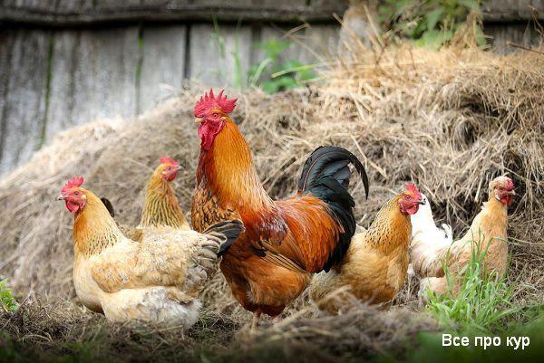 Лучшие несушки мира - рейтинг и породы кур для дома.