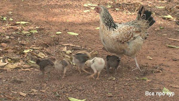 Болезни цыплят в возрасте от 1 до 60 дней, симптомы и лечение.