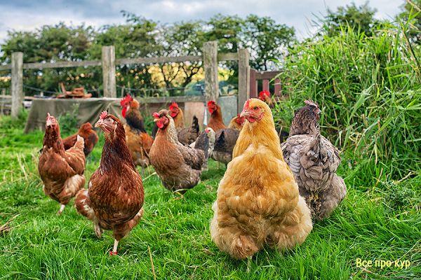 25 интересных фактов о домашних птицах.
