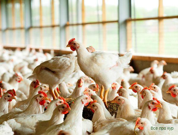 Бройлеры Хаббард на птицеферме во Франции.