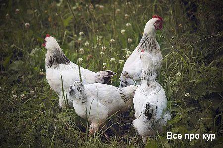 Адлерские куры серебристые - фото и описание несушек.