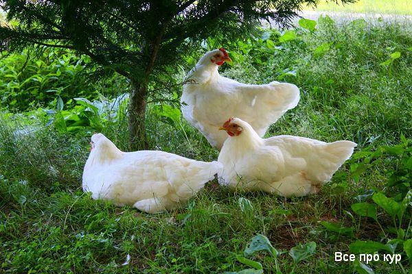 Лучшие несушки мира рейтинг и породы кур для дома.