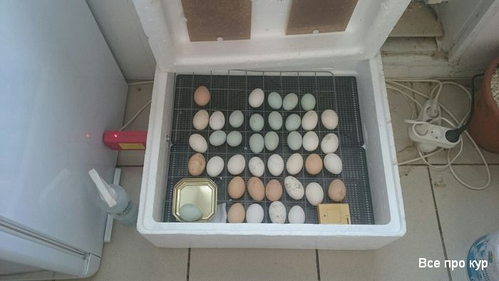 Как вывести цыплят в домашнем инкубаторе?
