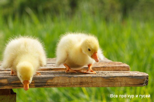 Как отличить гусынь от гусаков у маленьких гусят в раннем возрасте.