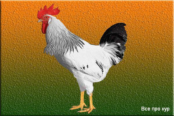 Куры доминанты какого цвета яйца