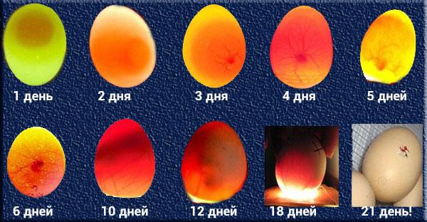 Овоскопирование куриных яиц фото по дням.