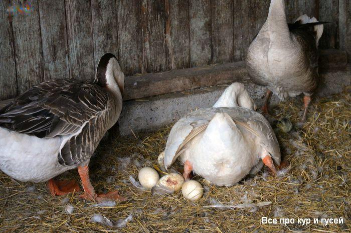 7 причин, почему гуси не несутся весной и летом.