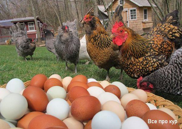 Куры с яйцами фото.