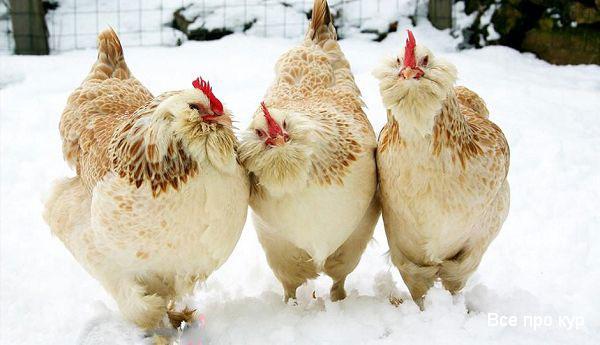 Лучшие мясные породы кур для домашнего разведения: фавероль.