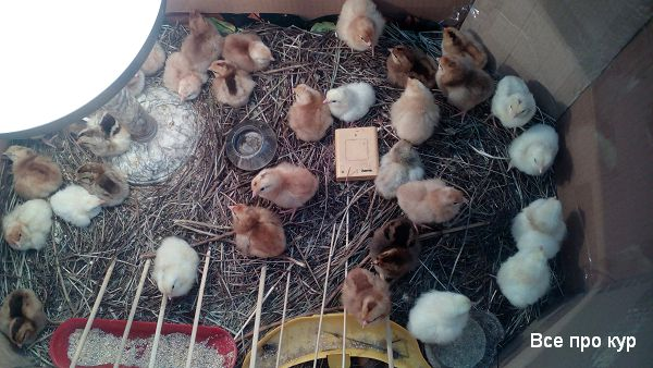 Городские цыплята из сурового Челябинска.
