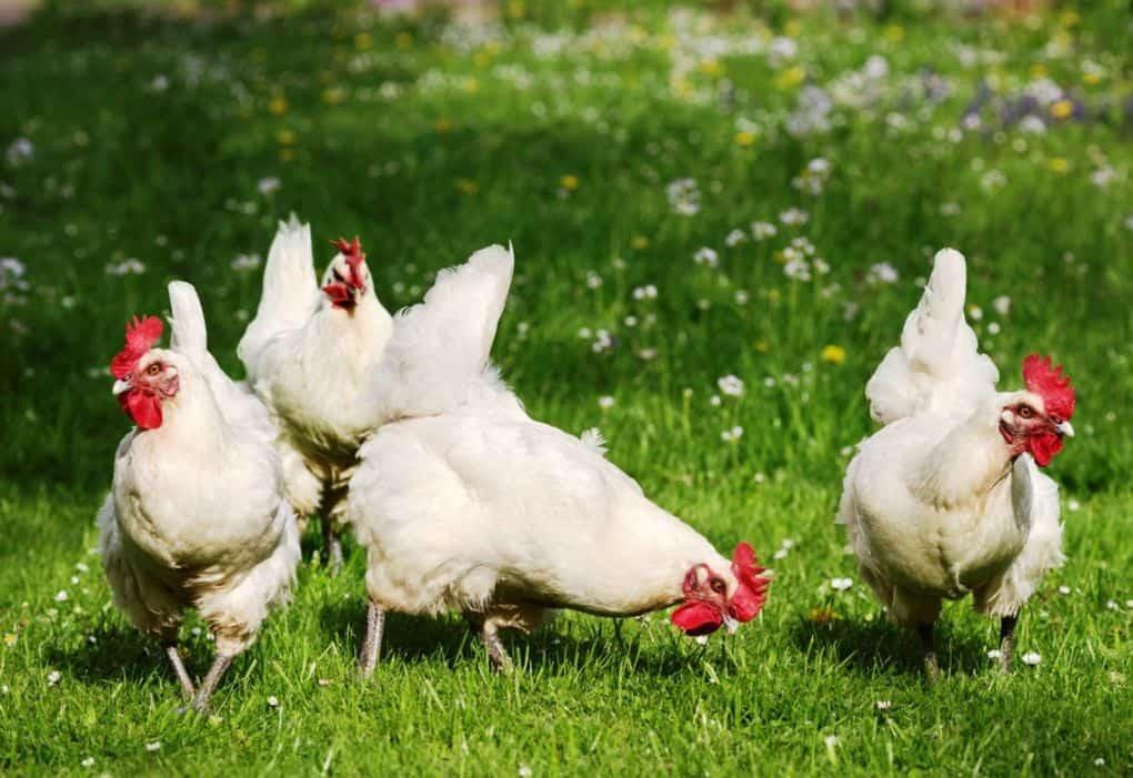 Характеристики лучших пород куриц, несущих яйца - белые несушки хайсекс.