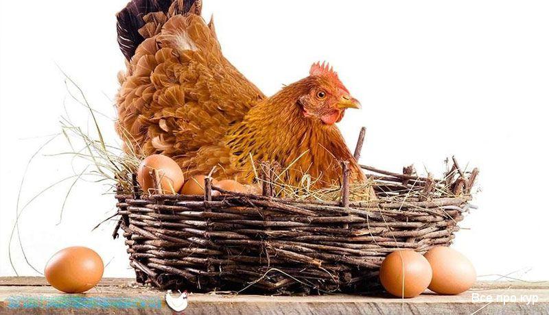 Курица в корзине.