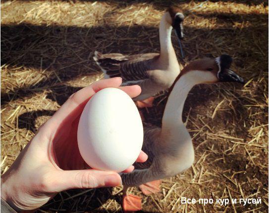 Сколько гуси несут яиц в год?