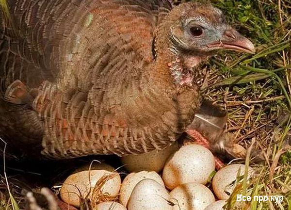 Индюшка с яйцами в гнезде.