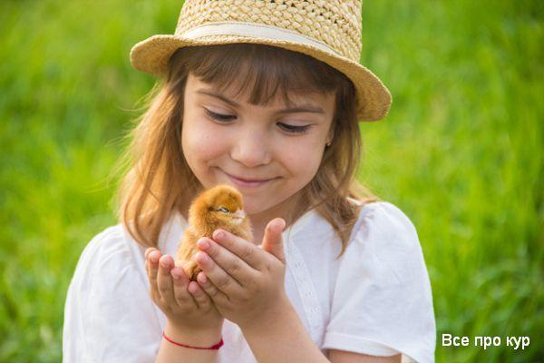 Выращивание цыплят в квартире для начинающих.
