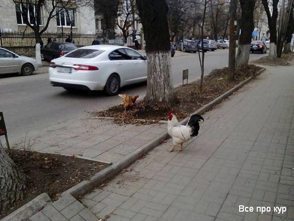 Куры в городе гуляют по улице.