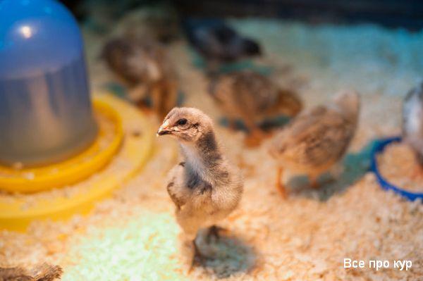 Как самостоятельно вырастить цыплят дома весной.